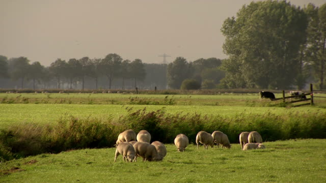 sheeps grazing in meadow, the netherlands - sheep stock videos & royalty-free footage
