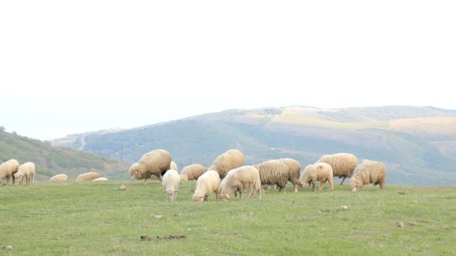 sheeps grazing on a meadow in the mountains - sheep stock videos & royalty-free footage