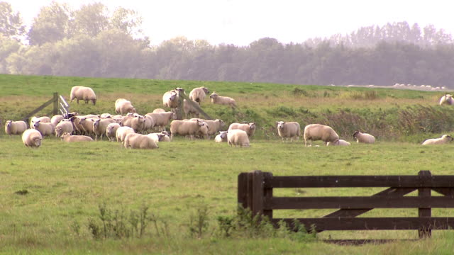 sheeps grazing on meadow - sheep stock videos & royalty-free footage