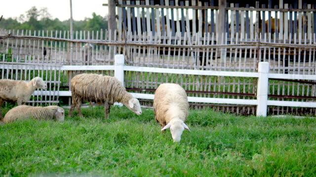 vídeos y material grabado en eventos de stock de ovejas en un prado sobre hierba verde. - oficio agrícola