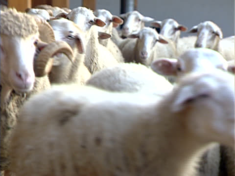 sheeps in farm - hooved animal stock videos & royalty-free footage