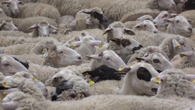 Sheeps in spring