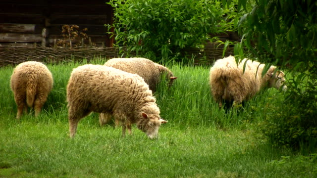 Sheeps in the village