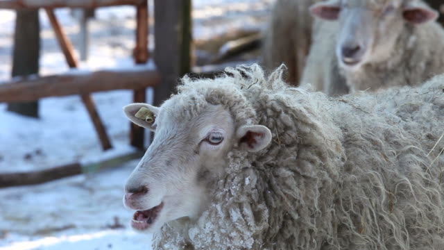 sheeps in wintertime - wolkenloser himmel stock videos and b-roll footage