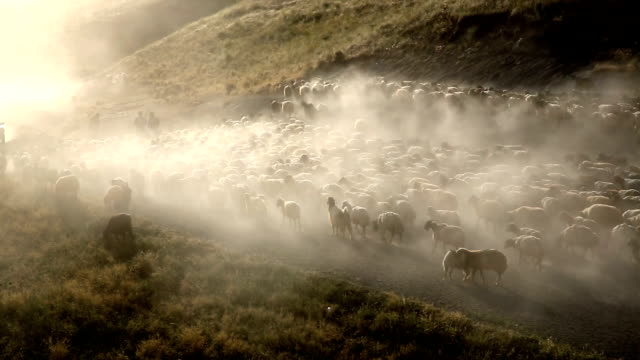 sheeps  - herding stock-videos und b-roll-filmmaterial