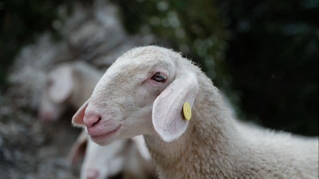 sheeps - hd format stock videos & royalty-free footage