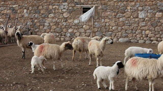 sheeps - hooved animal stock videos & royalty-free footage