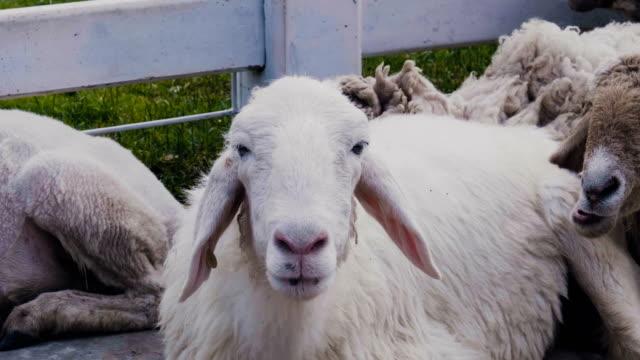 vídeos de stock, filmes e b-roll de sheeps - ovelha mamífero ungulado