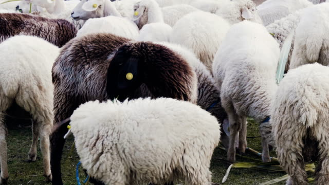 sheeps - flock of sheep stock videos and b-roll footage