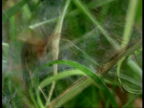 sheet/funnel web spider (agelena) attacks & bites grasshopper caught on web, england - social issues stock videos & royalty-free footage