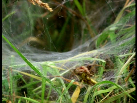 sheet/funnel web spider (agelena) carries grasshopper over web, england - spider web stock videos & royalty-free footage