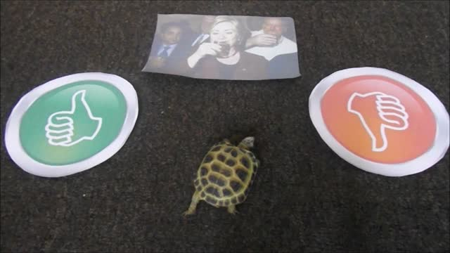 sheldon, the tortoise who https://www.youtube.com/watch?v=rjb1yggm4ki accurately predicted a conservative party win in the uk general election in may... - https stock videos & royalty-free footage