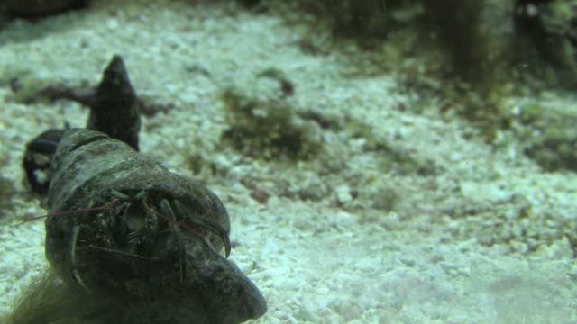 shell crab 1 - hd 1080/30f - animal shell stock videos & royalty-free footage