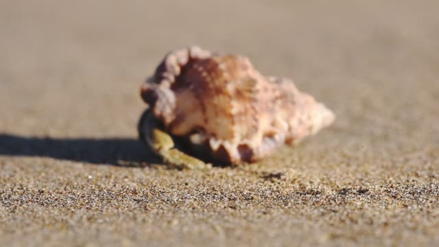 shell mollusk walking away out of focus, on a sandy beach - mollusk stock videos & royalty-free footage