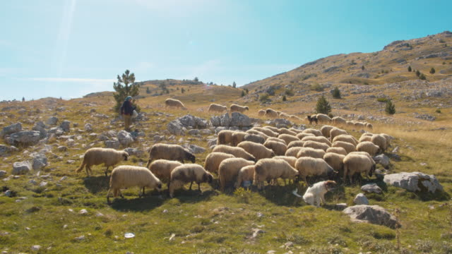 ws羊飼いと山の羊の群れ - 遊牧民族点の映像素材/bロール