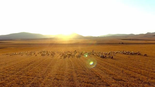 shepherd and herd - flock of sheep stock videos & royalty-free footage