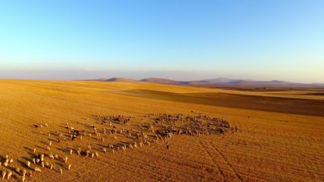 shepherd and herd - herding stock videos & royalty-free footage
