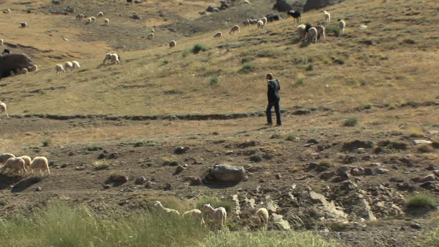 ws pan shepherd chasing sheep in field, atlas mountains, morocco - shepherd stock videos & royalty-free footage
