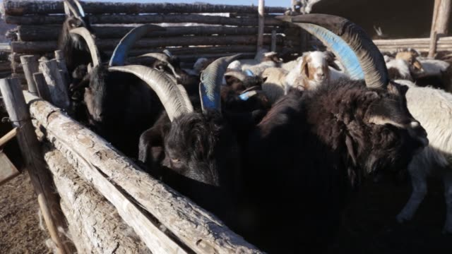 shepherd drives sheep and goats graze in tosontsengel, zavkhan province, mongolia, on saturday, march 11 a shepherd tends to a herd of sheep and... - livestock stock videos & royalty-free footage