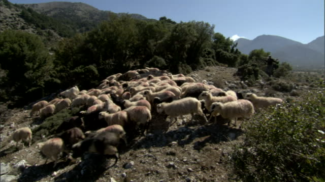 a shepherd follows a herd of sheep on a mountaintop in greece. - shepherd stock videos & royalty-free footage