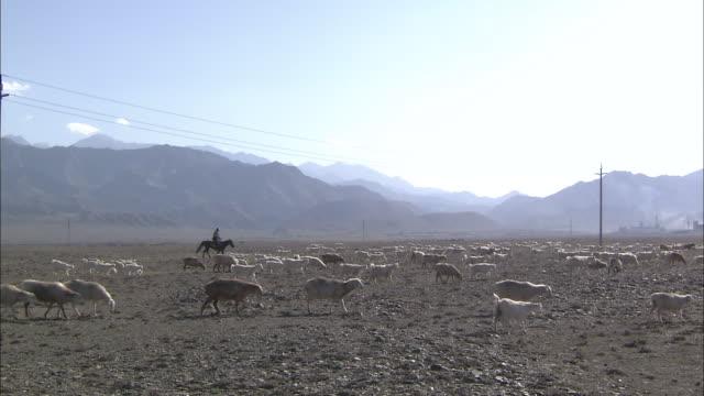 vídeos de stock e filmes b-roll de shepherd herds a flock of sheep. - cavalgada de lazer