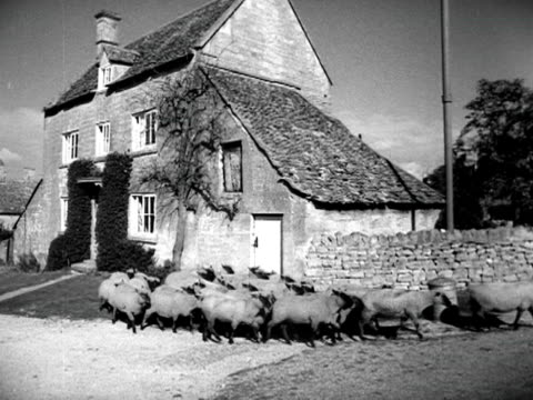 a shepherd herds sheep past a cottage in the village of willersley 1952 - shepherd stock videos & royalty-free footage