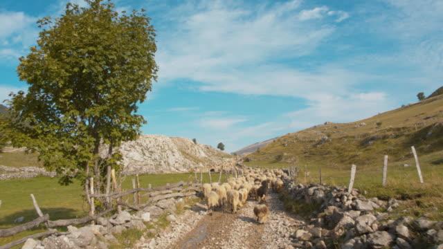 牧草に羊の群れを導くws羊飼い - 遊牧民族点の映像素材/bロール