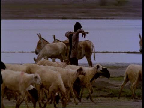 MS Shepherd moving herd of sheep past wild asses, Gujarat, India