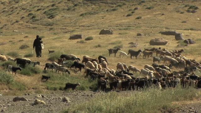 ws shepherd moving sheep across field, atlas mountains, morocco - shepherd stock videos & royalty-free footage