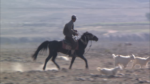 A shepherd on horseback trots after sheep in a flock