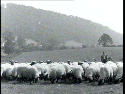 Shepherd standing with flock of sheep in Shropshire field