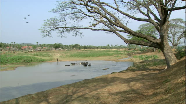a shepherd stands by as water buffalo wade in a river. - shepherd stock videos & royalty-free footage