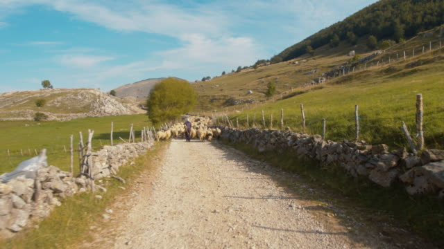 ws shepherd taking flock of sheep out to pasture - pastore mandriano video stock e b–roll