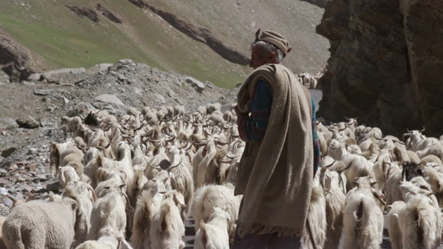 stockvideo's en b-roll-footage met a shepherd taking his flock of sheep - werkende bejaarden