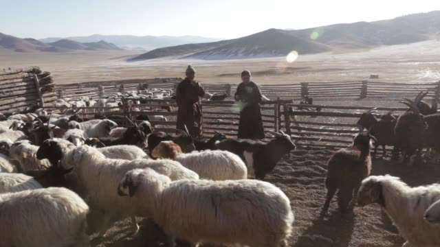 shepherd tends to a herd of sheep and goats in a catch pen in tosontsengel, zavkhan province, mongolia, on saturday, march 11 sheep and goats stand... - 遊牧民族点の映像素材/bロール
