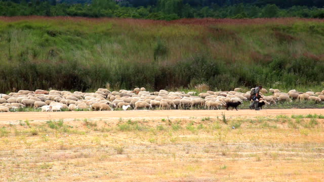 shepherd with a flock of sheep and goats - flock of sheep stock videos and b-roll footage