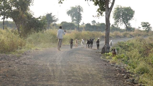 shepherd with goats, india. - 羊飼い点の映像素材/bロール