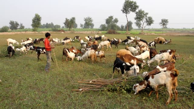 shepherd with his goat herd grazing in the fields - punjab pakistan stock videos and b-roll footage