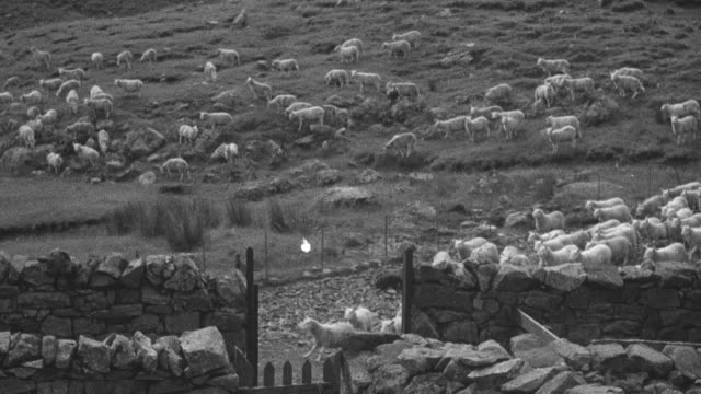 vidéos et rushes de 1944 montage shepherds and their dogs herding and corralling the sheep / archriesgill, scotland, united kingdom - troupeau