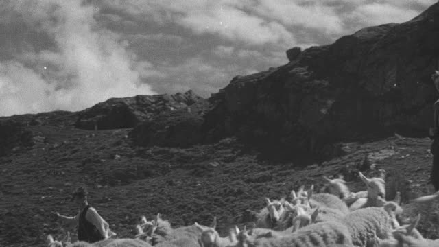 vidéos et rushes de 1944 montage shepherds and their dogs herding sheep in the highlands / archriesgill, scotland, united kingdom - troupeau