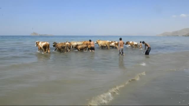 shepherds cool their cows off in van lake in van province of turkey on july 14 2015 - lake van stock videos and b-roll footage