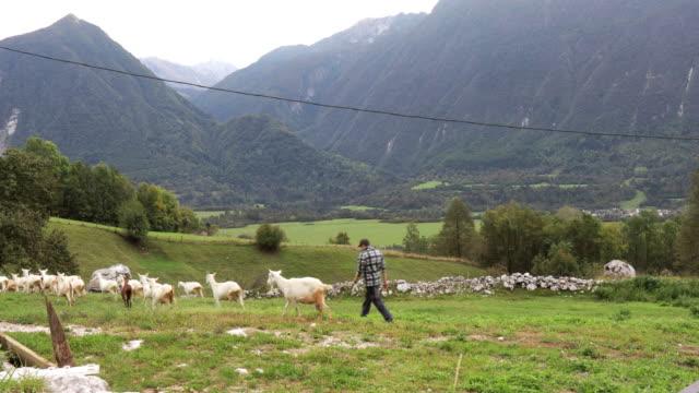 牧草地でヤギの群れを飼う羊飼い - ヤギ点の映像素材/bロール