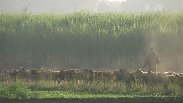 shepherds walk with their flock of sheep. - 羊飼い点の映像素材/bロール
