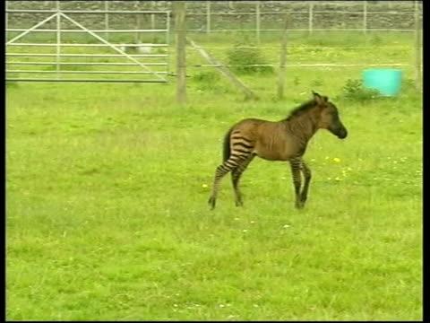 shetland pony/zebra cross foal; itn england: cumbria: penrith ext tilly' the shetland pony walking in paddock with her shetland pony/zebra cross foal... - zebra stock-videos und b-roll-filmmaterial