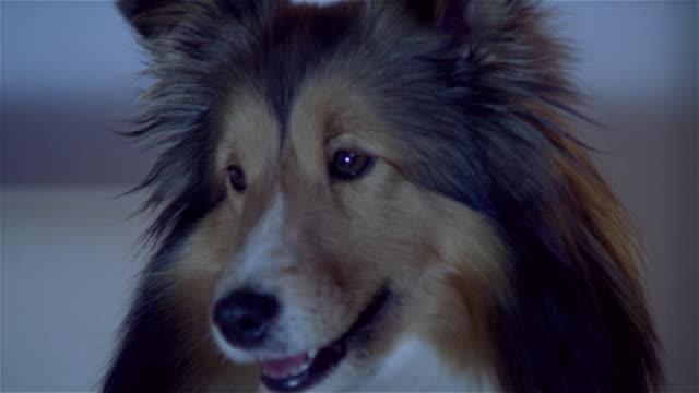 vídeos de stock e filmes b-roll de cu, shetland sheepdog watching tv - olhar atentamente