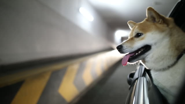 shiba inu dog riding in the car - passenger seat stock videos & royalty-free footage