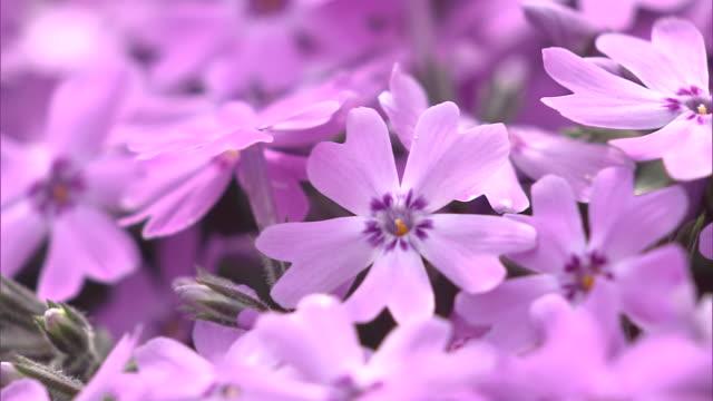 vidéos et rushes de shibazakura (moss phlox) - violet