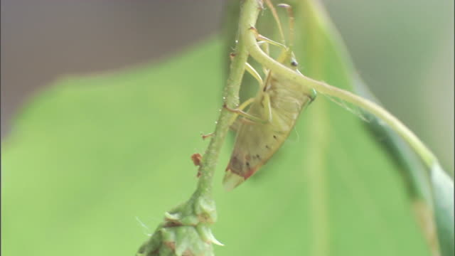 a shield bug climbs up a tree branch. - plant pod stock videos & royalty-free footage