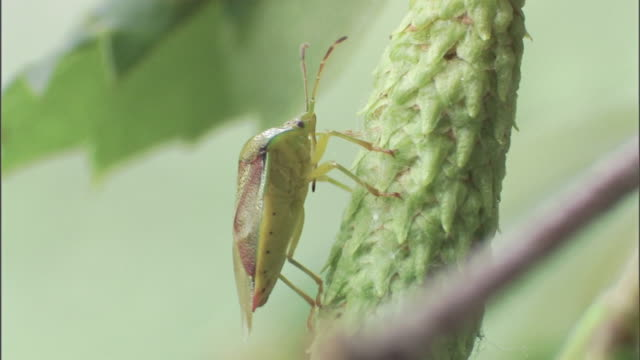 a shield bug rests on a seed pod. - plant pod stock videos & royalty-free footage