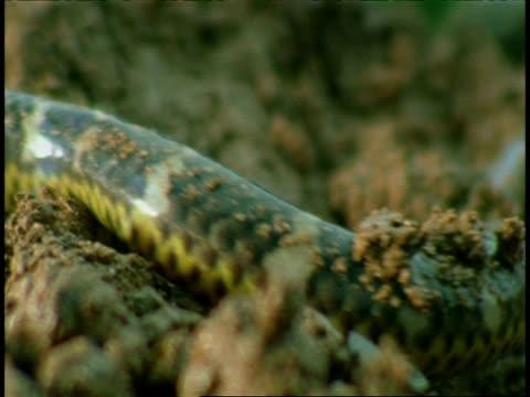 bcu shieldtail snake, slithering over mud, scales and markings, western ghats, india - pälsteckning bildbanksvideor och videomaterial från bakom kulisserna